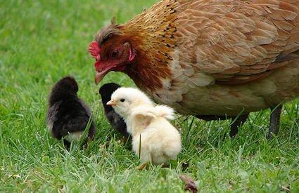 """Backyard Shack"" Chickens — Prepper Survival Tricks for a Famine or Post Apocalypse"