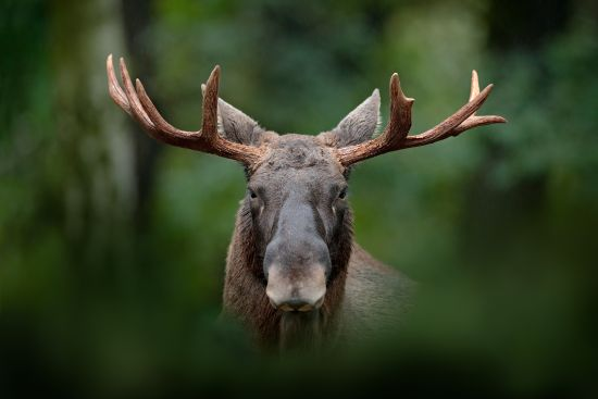 How to Spot and Stalk Elk