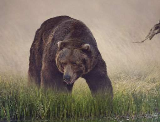 Survival Hunting How to Hunt, Cook, and Eat Black Bears and Grizzlies