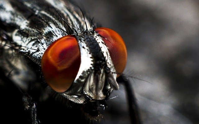 Insect Harvesting: Edible Flies and Fly Larvae(Maggots) Pack a Nutritional Punch