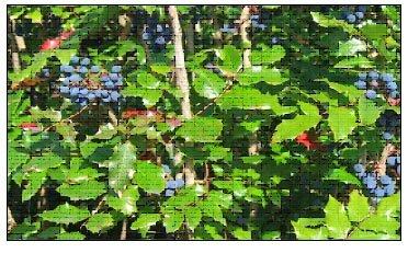 medicinal-plant-oregon-grape