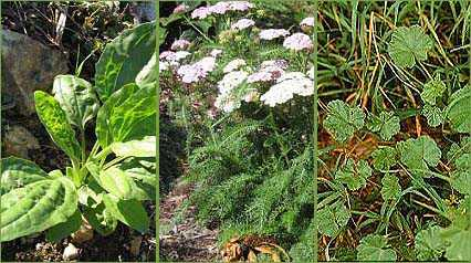 Top Medicinal Plants in the USA (and North America)