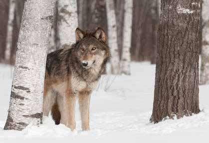 Shocking Wolf Attacks – Surviving a Wolf Attack
